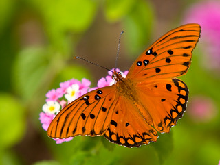 Gulf Fritillary butterfly | by Mark Chandler Photography