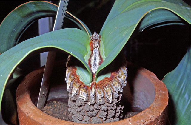 Welwitschia mirabilis (Gnetales) - young plant