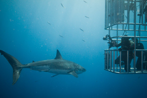 Guadalupe White Shark Trip | by Scubaben
