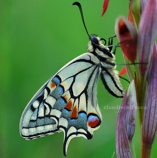 Papilio machaon - Explored! Thank you all my friends! | by claudiodelfuoco