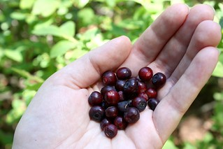 Huckleberry picking | by Completely Delicious