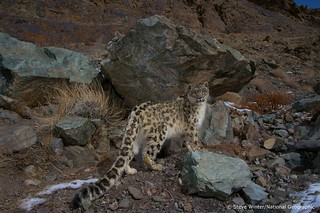 Snow leopard camouflage - Ladakh, India | by Panthera Cats