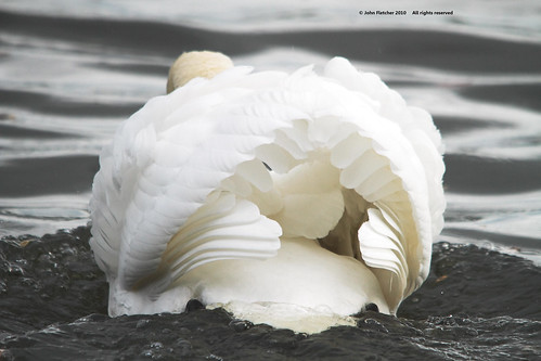 swan | by MallardBS (500,000 views...thanks folks)