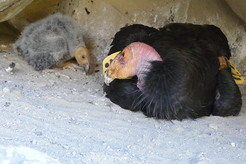 30-day old California condor chick | by USFWS Pacific Southwest Region