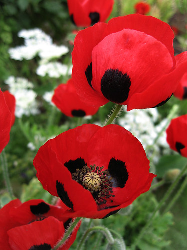 Papaver commutatum 'Ladybird' | by anniesannuals