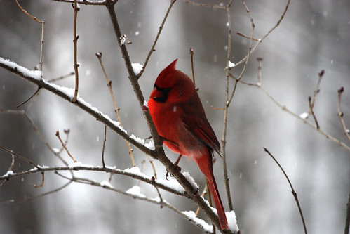 Red Bird, Gray Winter | by curious_spider