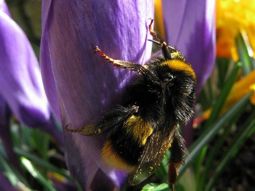 Mr Bumble | by Limbo Poet having a break for a while