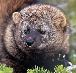 The Pacific Fisher | by USFS Region 5