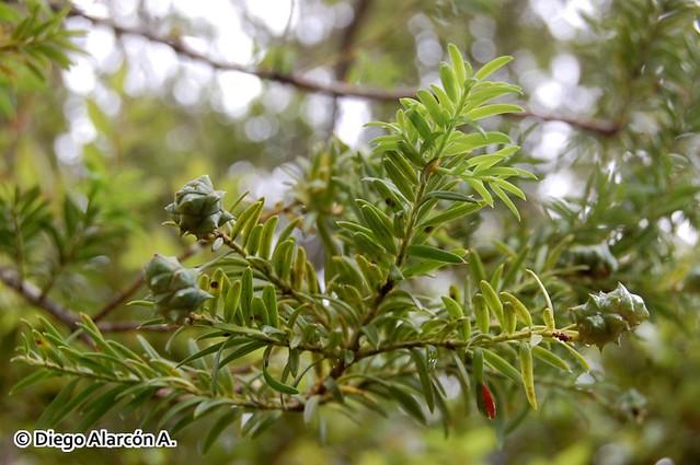 Ramita con conos femeninos de Saxegothaea conspicua, Mañío hembra