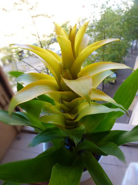 A yellow Bromelia