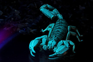 Fluorescing Black Rock Scorpion | by Michael_Whitehead