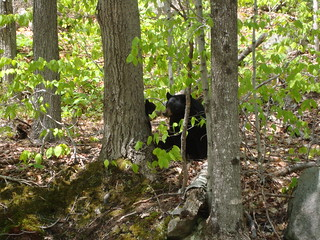 Black Bear and cub | by Great Glen Trails