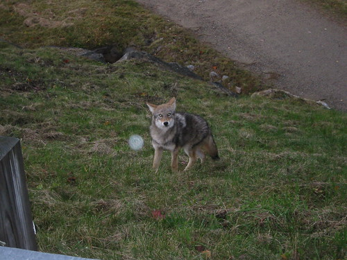 Eastern Coyote | by Great Glen Trails