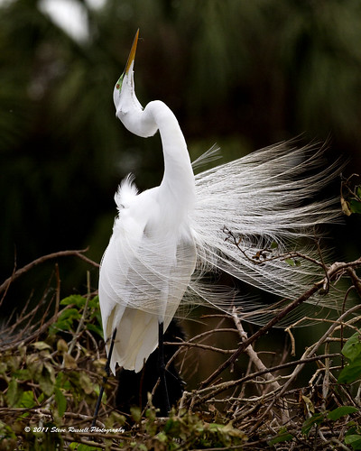 _MG_7158_030611_Great Egret | by Steve Russell Photography