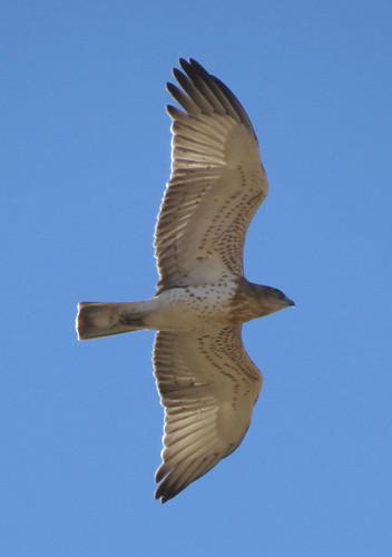 Short-toed Eagle Circaetus gallicus Sagres, Algarve September 2016