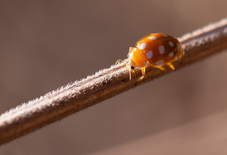 Young ladybug | by Stéphane Schild