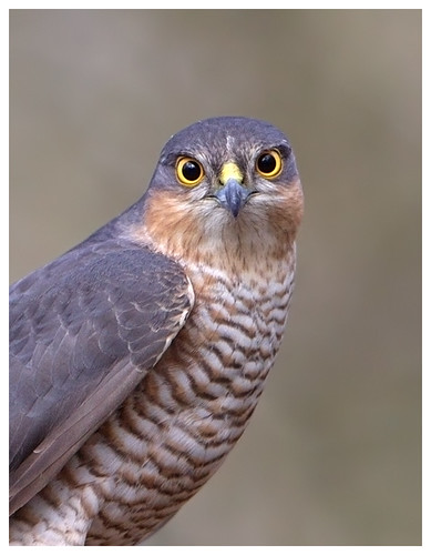 Sparrowhawk | by Pete Walkden