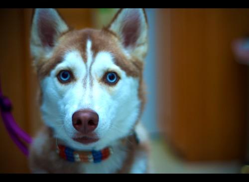 Siberian Husky Patrick Brooks Flickr