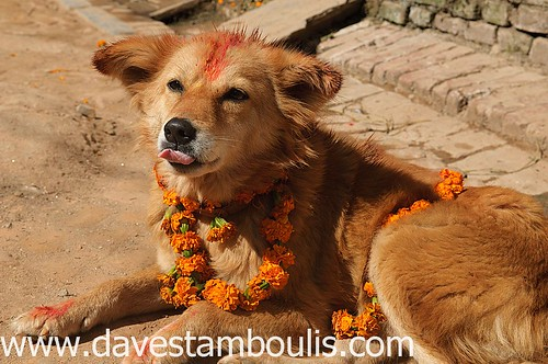 dog adorned with flowers and tikka for the Tihar festival in Kathmandu, Nepal