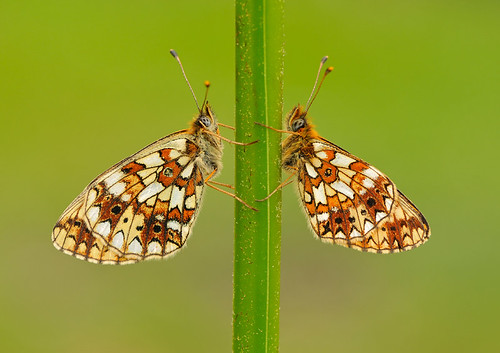 Small Pearl-bordered Fritillary - Boloria selene / Comparison Shot (female left, male right) | by Pete Withers