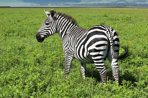 Good Zebra Morning | by malczyk