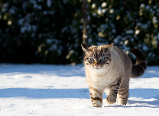 Snow's Cat | by Cente!