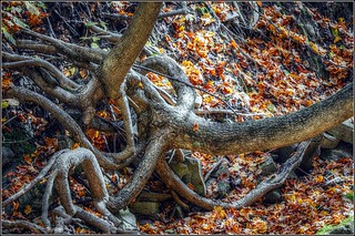 Roots Tangled In The Forty's Ravine - HDR/Tone-Mapped | by jwvraets