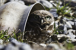 Burrowing Owl who has adapted | by Bob Gunderson