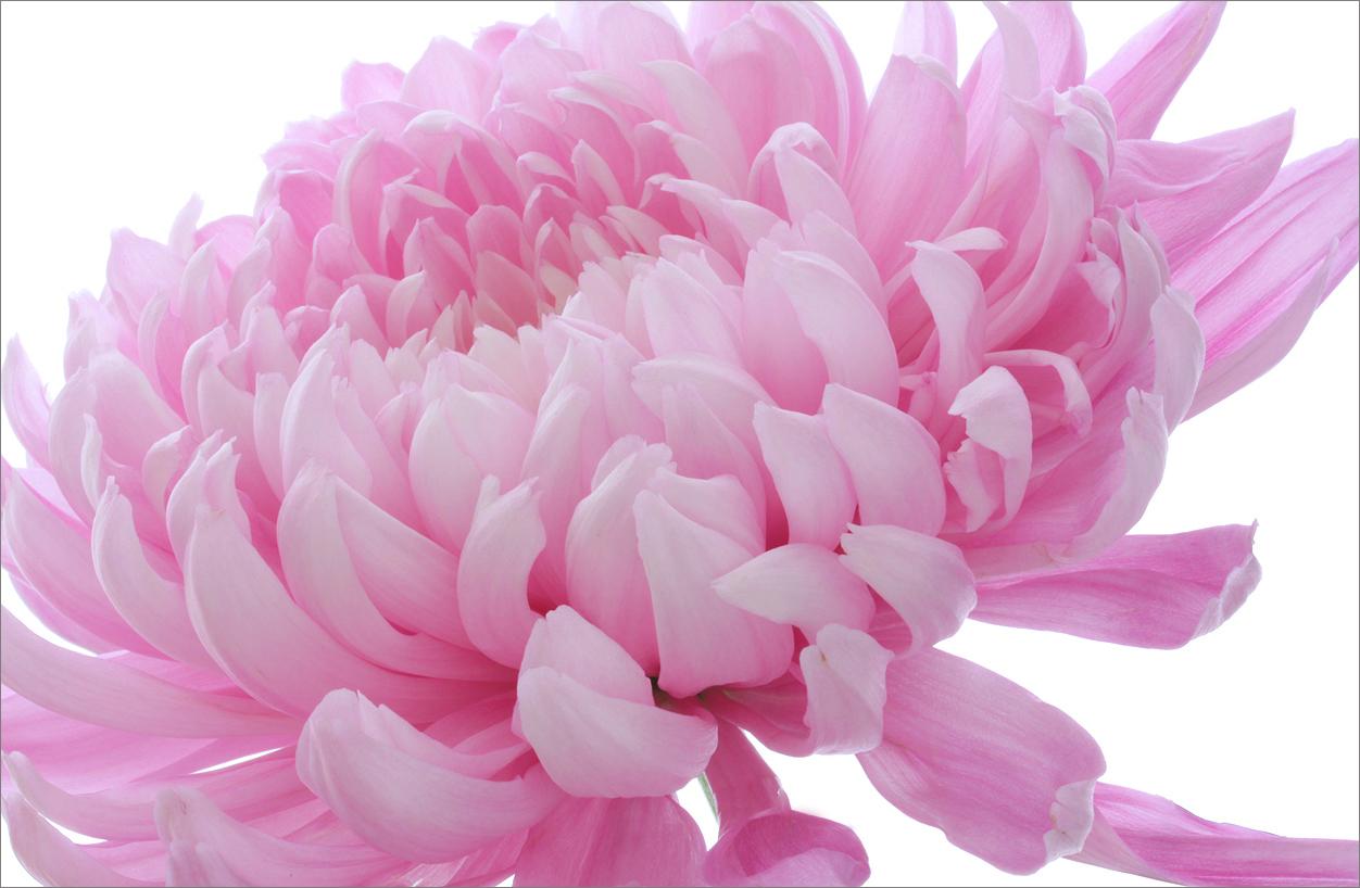 Pink - IMG_0427