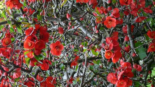 Pommier du japon les jardins mettent leurs plus belles par flickr - Pommier du japon toxique ...