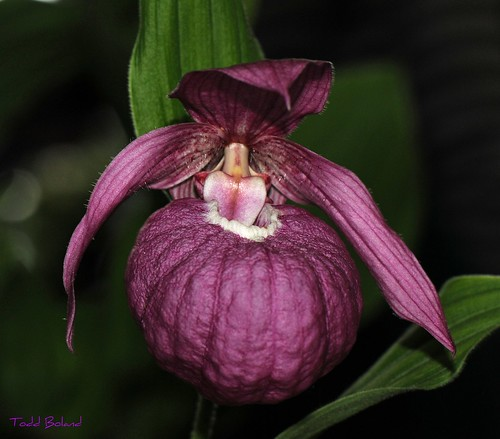Cypripedium micranthos | by Todd Boland