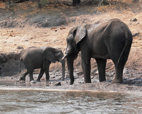 Mother and baby Elephant getting a drink and cooling off | by Violator1