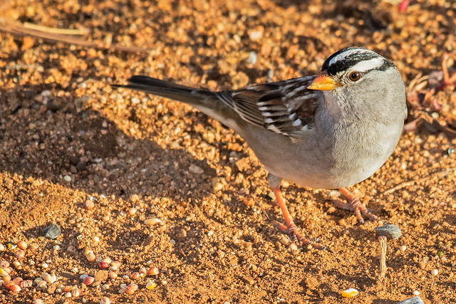 White-crowned-Sparrow-3-7D2-100516