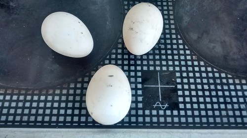 duck eggs Sept 16