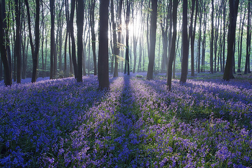 Micheldever Bluebell Sunrise | by antonyspencer