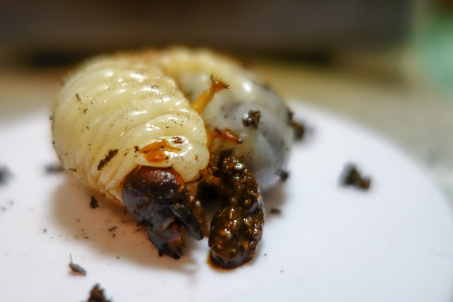 カブトムシ幼虫