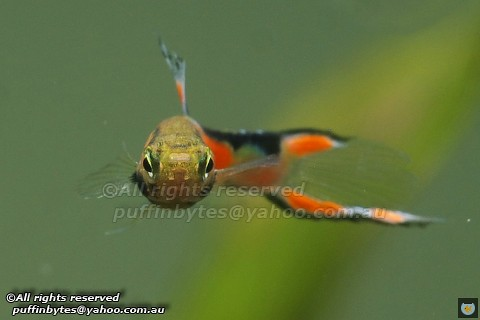 Endler's Livebearer - Poecilia wingei | by puffinbytes