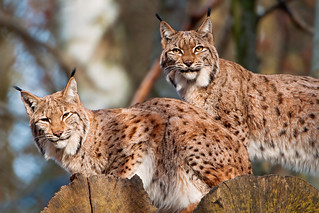 Two lynxes | by Tambako the Jaguar
