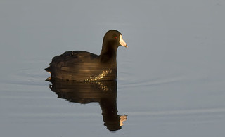 Coot-b | by Steve Russell Photography