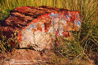 Petrified Wood | by Birdman of El Paso