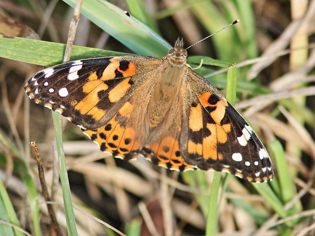 Painted Lady 20160929