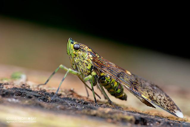 Net-winged planthopper (Dichoptera sp.) - DSC_9325