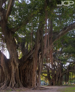Famous Banya Trees on Beach Drive St Petersburg Florida HDR | by Jason Collin