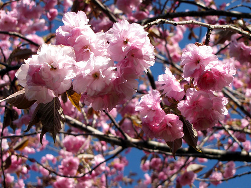 Cherry Blossoms I | by aislinn2000