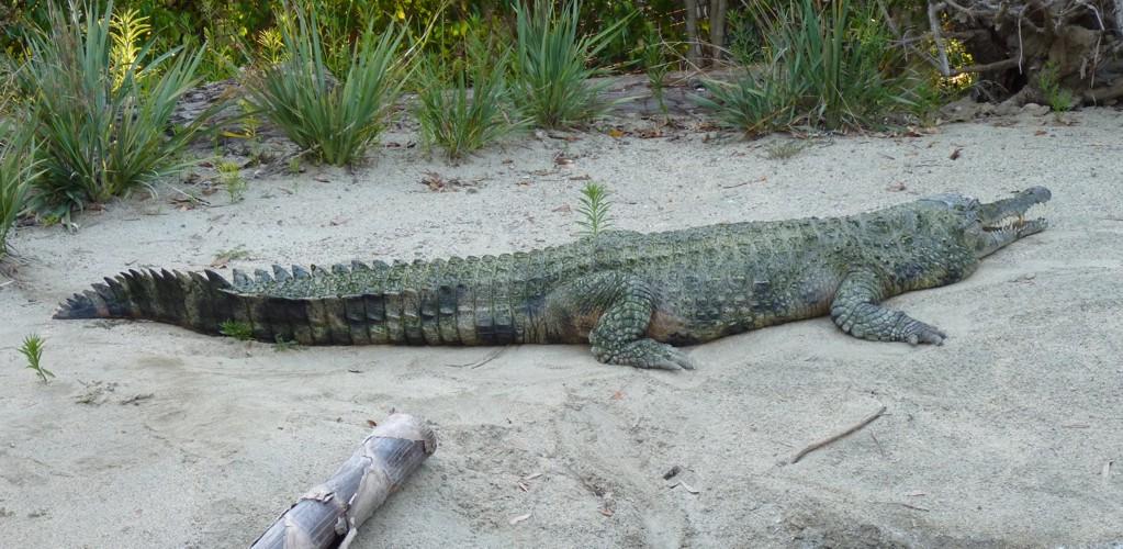 Crocodylus cataphractus 30598921396_72740f39e9_o