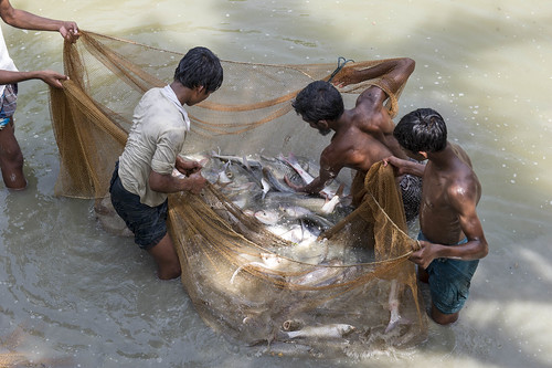Fish farmers at a hatchery in Gazipur Bangladesh. Photo by Finn Thilsted, 2012
