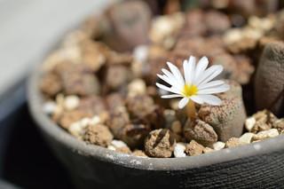 DSC_4076 Conophytum pellucidum S.W. Springbok �R�m�t�B�c�� �y���V�_��