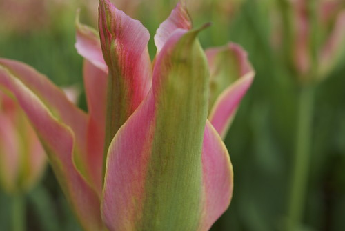 Nice combination of the pink and green tulip virichic - Combination of green and pink ...