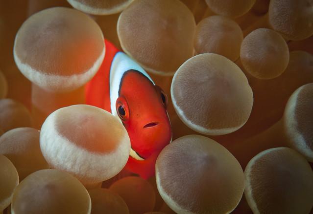Baby Tomato Anemonefish - Amphiprion frenatus