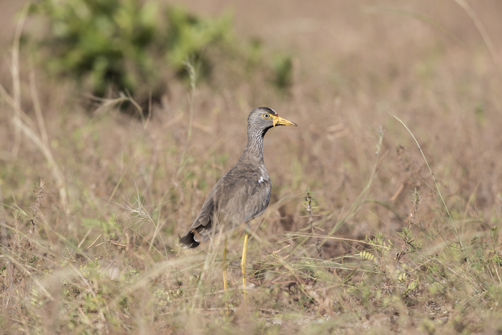 Wattled Plover Gambia 2016-2